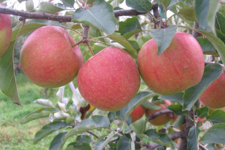 Bilpin Orchard