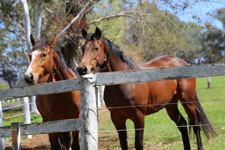 Gooree horses
